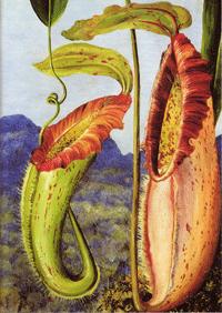 Botanical illustration of Venus Flytrap by Marianne North