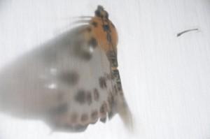 Jim Roseveare abraxas grossulariata L. Magpie Moth GEOMETRIDAE Lepidoptera