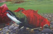 Gaius Bell: Spawning Sockeye Salmon