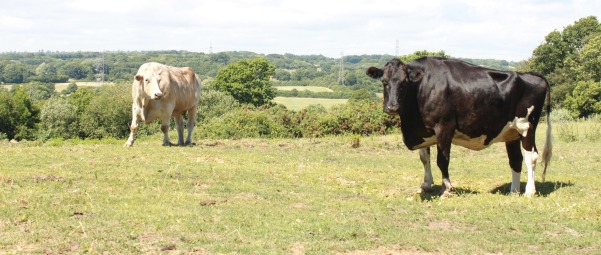 Cows at Barby Keel