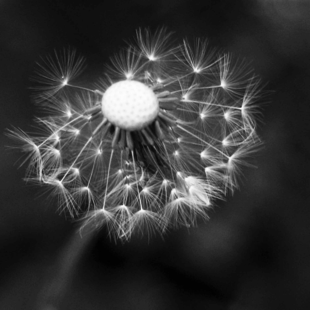 """Dandelion"" - Robin Hutt"