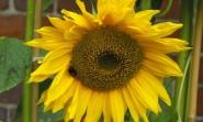 Sunflower Photo by ZR