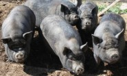 Pigs in sanctuary Photo by Rhian Thomas