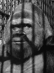 Guy the Gorilla © Wolf Suschitzky