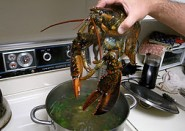 Live lobster about to be boiled (Image Crustacean Compassion)