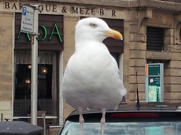 """""""You looking at me, pal?!"""" The herring gull glare."""