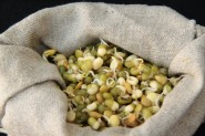 Mung beans growing in a bag