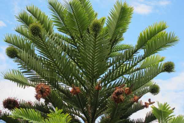Wallemi pine