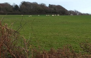 Sheep grazing in the westernmost field proposed for a solar array in the Country Park, as seen from the adjacent public footpath.