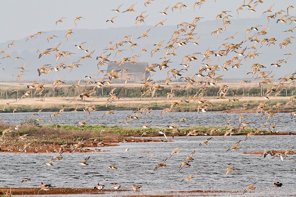Golden Plovers at Rye Harbour. Image courtesy of Barry Yates