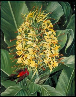 Hedychium Gardnerianum and Sunbird, India.