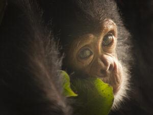Chimpanzee © Ian Wood