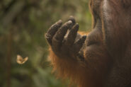 Orangutan watching a butterlfly © Ian Wood