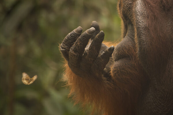 Orangutan watching a butterlfly © Ian Wood